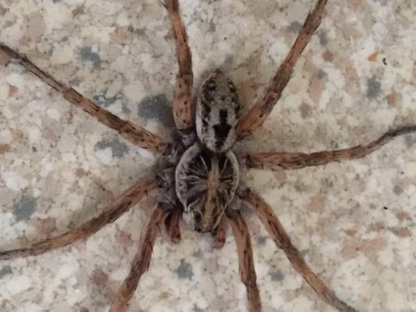 picture of a large Hogna Spider in the Wolf Spider family