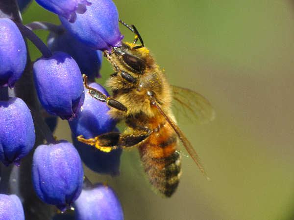 picture of a honey bee, part of the types of insects collection