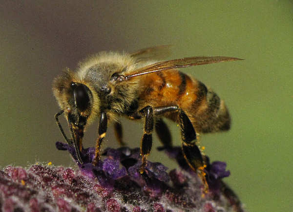 picture of a honeybee, types of bees