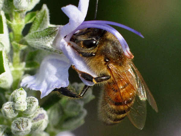 picture of a honeybee