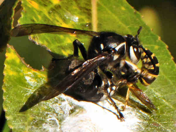 picture of a bald-faced hornet fighting a yellow jacket wasp