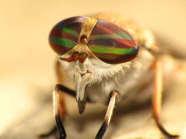 picture of the eyes of a horse fly, part of the types of flies series