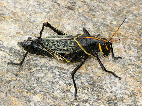 picture of a horse Lubber grasshopper