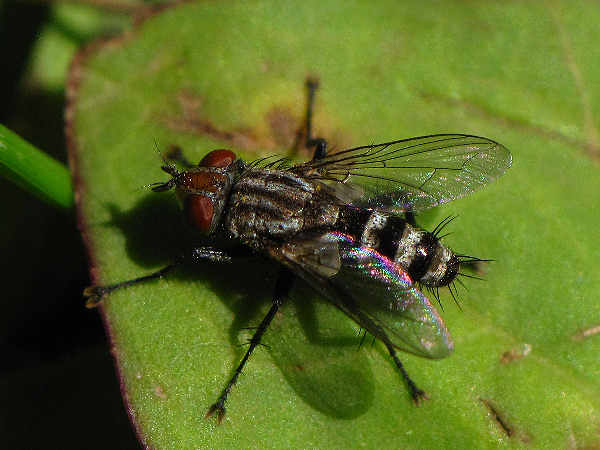 picture of a house fly to help with identification questions covering all types of flies