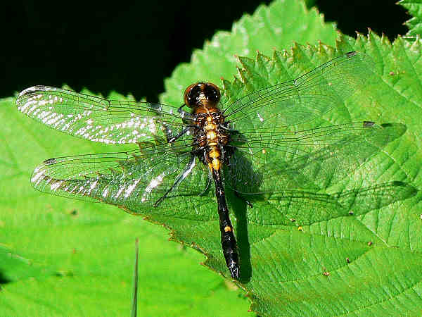 picture of a male Hudsonian Whiteface dragonfly
