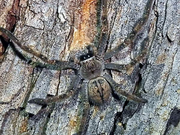 picture of a Huntsman Spider in Arizona