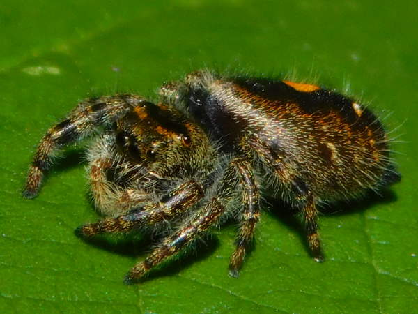 picture of a female Bold Jumping spider