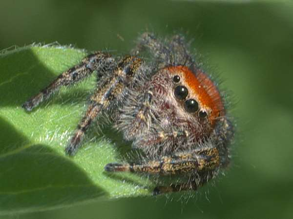 picture of a jumping spider, Minnesota spiders