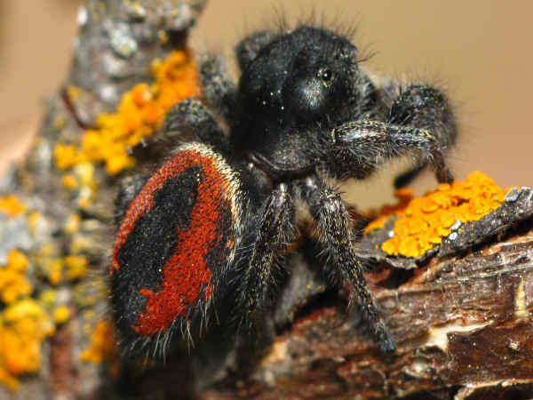 picture of a Phidippus: Jumping Spider, types of spiders