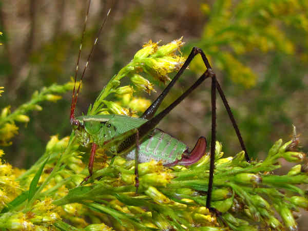 picture of a katydid