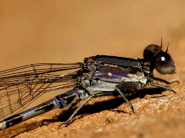 picture of a Kiowa Dancer damselfly. Credit: Melissa Mcmasters, Flickr