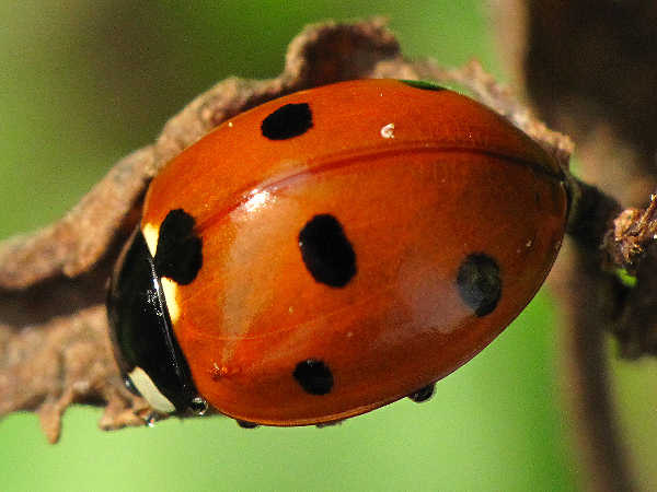 picture of a seven spotted lady beetle or ladybug, types of insects for green nature