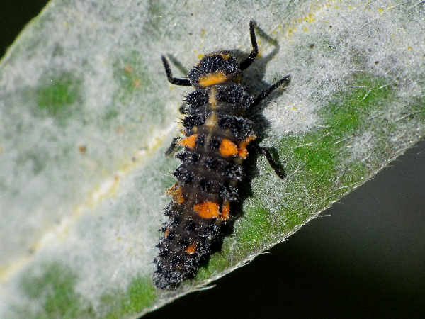 picture of a seven spotted lady beetle larvae, part of the types of ladybugs series