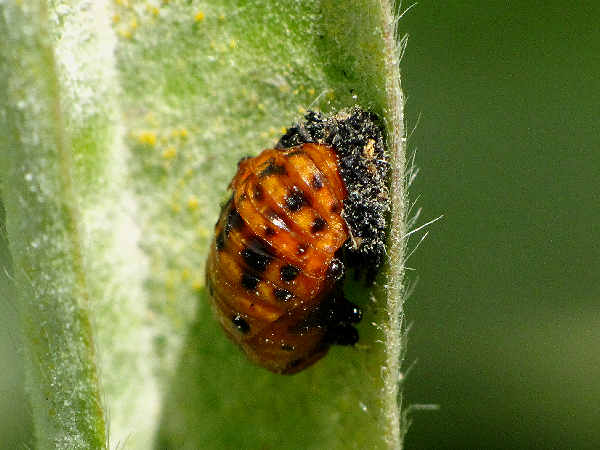 picture of a seven spotted lady beetle pupa, types of ladybugs page