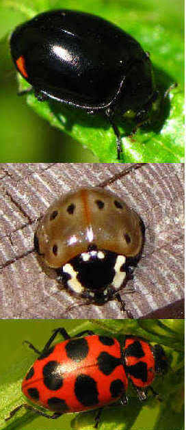 composite picture of three types of ladybugs