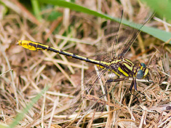 picture of a Lancet Clubtail dragonfly. Credit Melissa McMaster Flickr