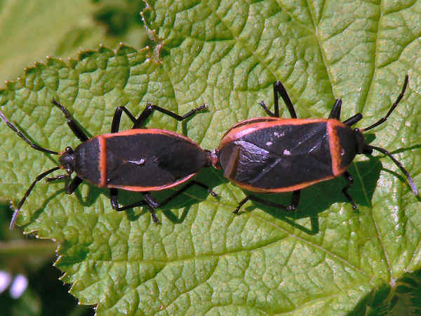 picture of a pair of bordered plant bugs in the largus genus