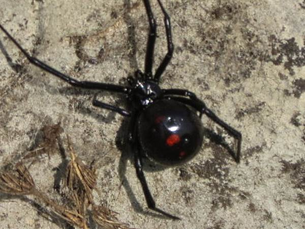 picture of a female Northern Black Widow spider, Latrodectus variolus