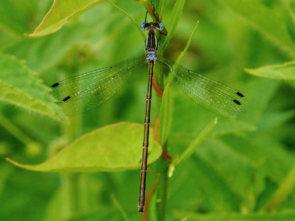 picture of a Slender Spreadwing damselfly, lestes rectangularis