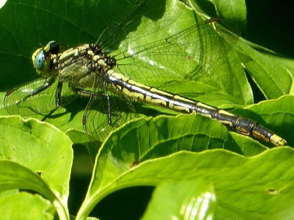 picture of a Lilypad Clubtail dragonfly