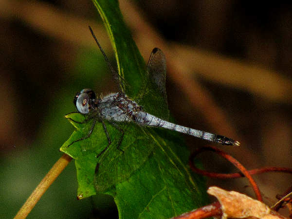 picture of a Little Blue Dragonlet dragonfly