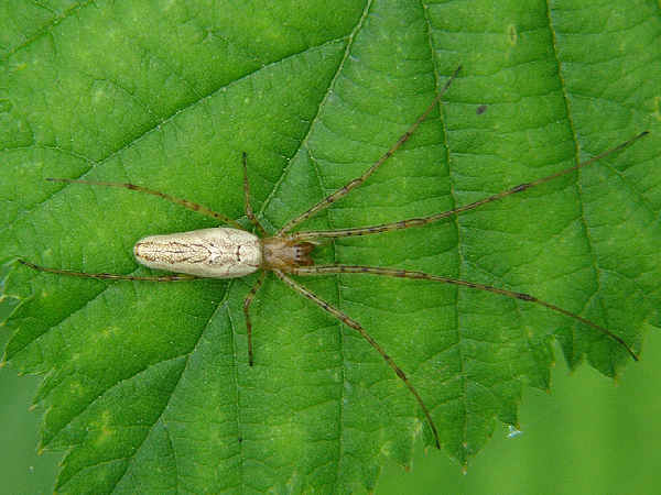 picture of a Long-jawed Orbweaver Spider, types of spiders