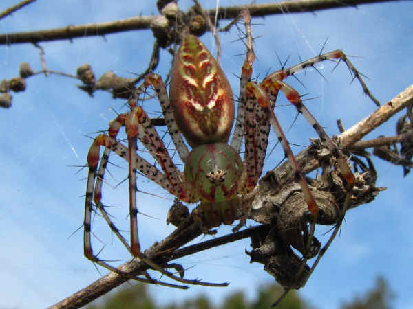 picture of a green lynx spider