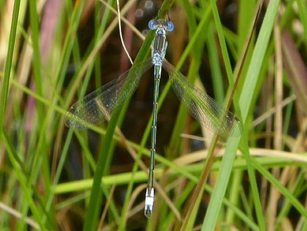 picture of a Lyre-tipped spreadwing damselfly