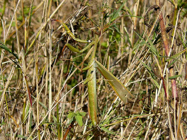 picture of a mantid