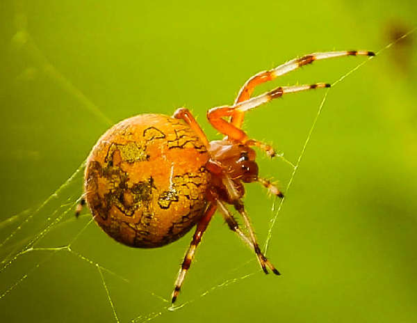 picture of a Marbled Orb Weaver, credit Ladydragonfly CC, Flickr