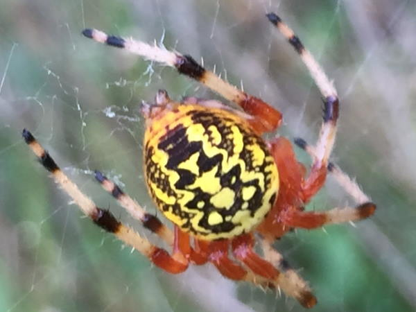 picture of a Marbled Orbweaver spider, Delaware spiders