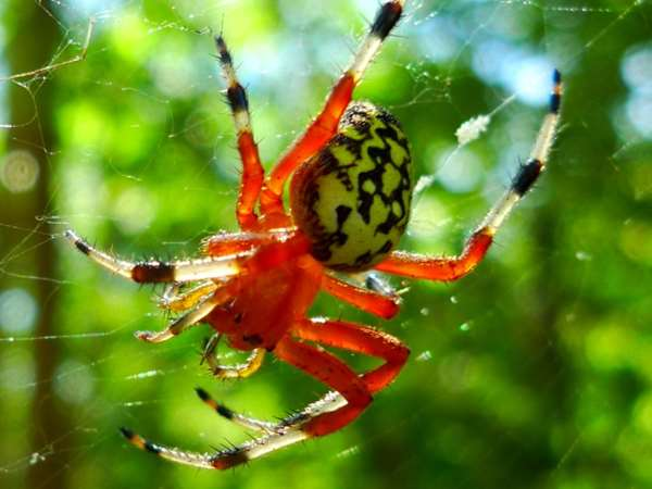 picture of a Marbled Orbweaver spider, part of the Illinois spiders series