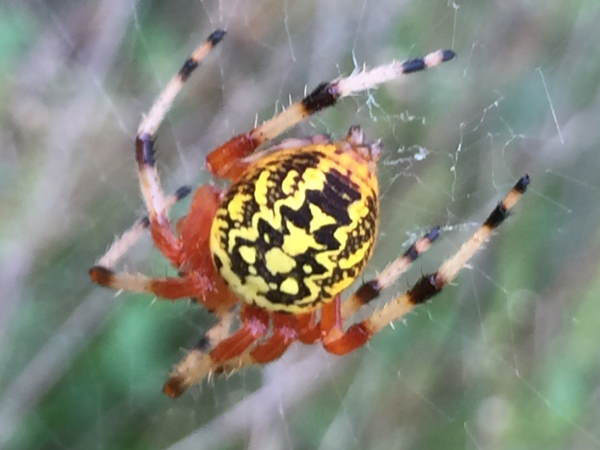 picture of a Marbled Orbweaver, part of the Arkansas spiders series