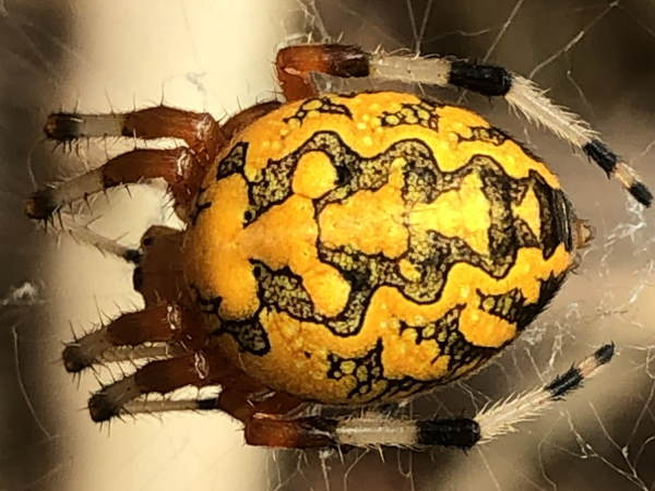 picture of a Marbled Orbweaver