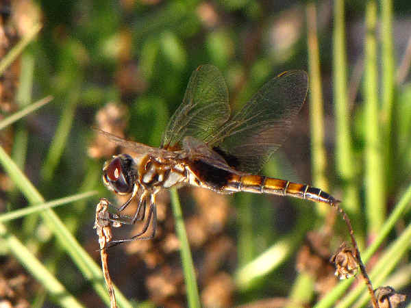 picture of a female Marl Pennant dragonfly, part of the Skimmer dragonfly identification guide