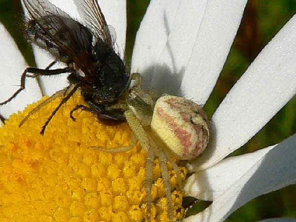 picture of a crab spider in the mecaphesa genus, part of the Arkansas spiders series