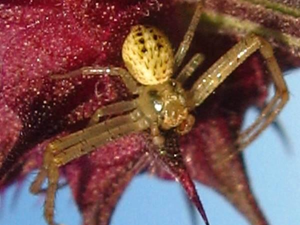 picture of a Mecaphesa deserti, desert crab spider