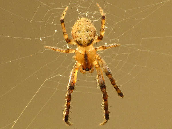picture of a orb weaving spider in the metazygia genus