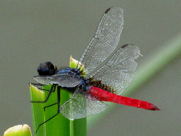 picture of a Mexican Scarlet-tail dragonfly