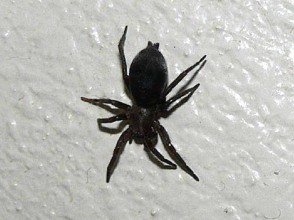 picture of a ground spider called a mouse spider