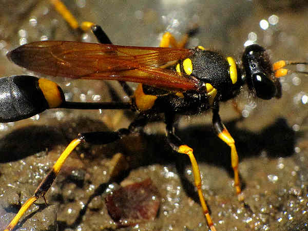 picture of a Mud Dauber wasp