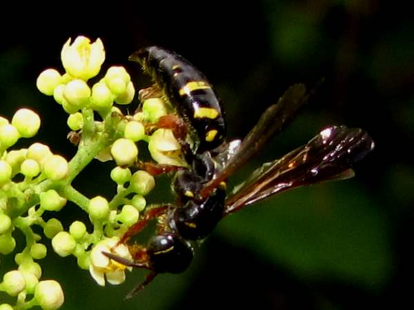 picture of a wasp in the Myzinum genus