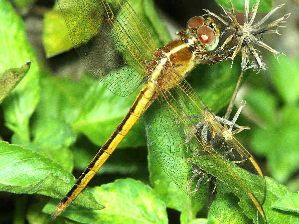 picture of a female Needham's Skimmer dragonfly