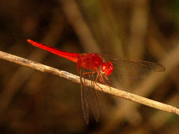 picture of a  Needhams Skimmer dragonfly