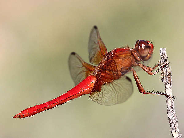 picture of a neon-skimmer dragonfly