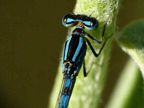 picture of a Northern Bluet, credit Judy Gallagher, Flickr