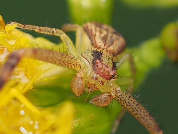 picture of a Mecaphesa asperata - Northern Crab Spider, crab spiders