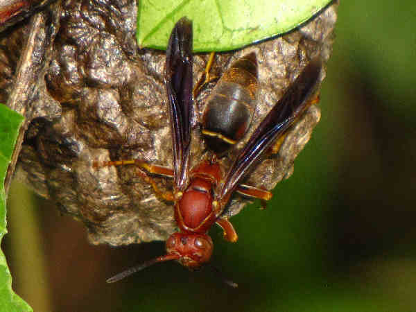 picture of a Northern Paper Wasp, types of paper wasps