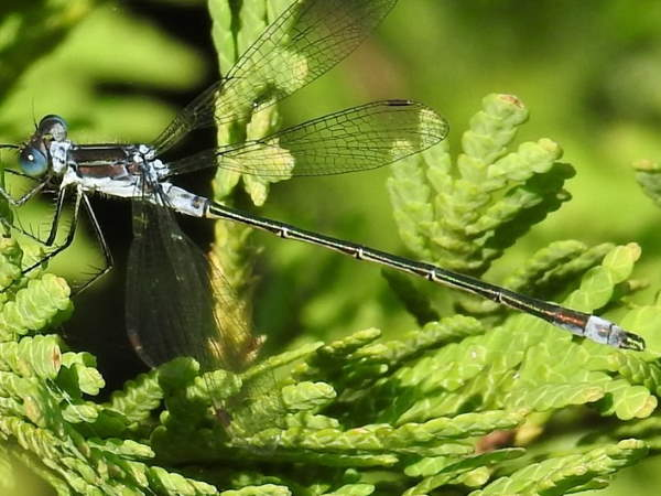 picture of a Northern spreadwing damselfly