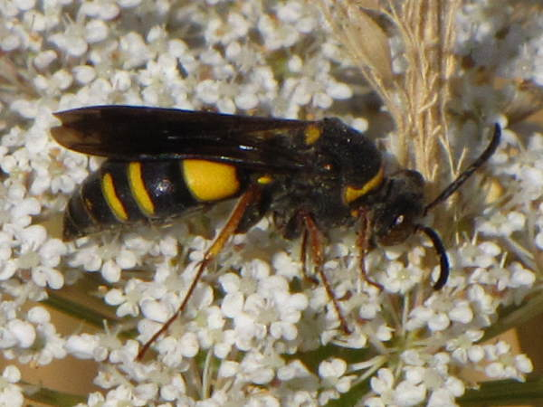 picture of sand wasp in the Nysson genus